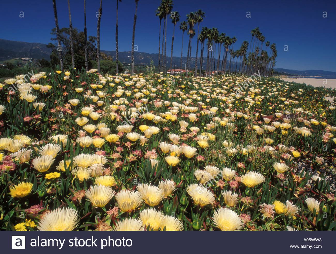 ice-plant-flowers-along-the-beach-in-santa-barbara-california-united-A05WW3